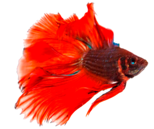 Betta Transparent Background PNG icon