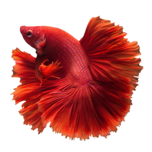 Betta Transparent PNG PNG Clip art