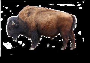 Bison Transparent Background PNG Clip art
