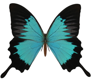 Black And Cyan Butterfly PNG PNG icon