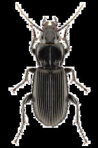 Black Beetle PNG Clipart PNG Clip art