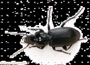 Black Beetle PNG File PNG Clip art
