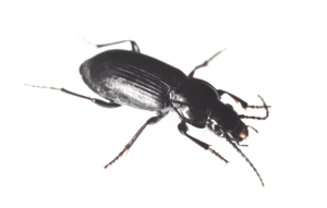Black Beetle PNG HD PNG icon