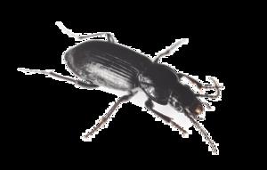 Black Beetle PNG HD PNG Clip art