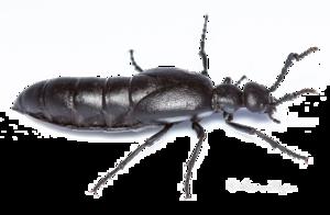 Black Beetle PNG Image PNG Clip art
