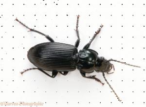 Black Beetle PNG Photos PNG Clip art