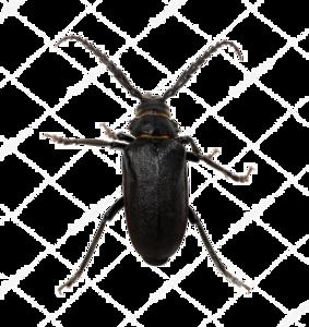 Black Beetle PNG Pic PNG Clip art
