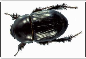 Black Beetle PNG Picture PNG Clip art