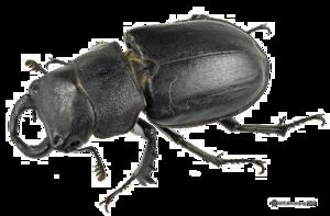 Black Beetle PNG Transparent Picture PNG Clip art