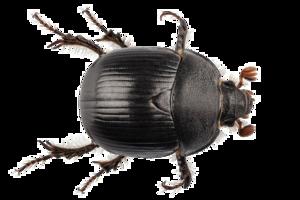 Black Beetle PNG Transparent PNG Clip art