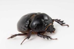 Black Beetle Transparent PNG PNG Clip art