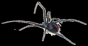 Black Widow Spider Transparent Background PNG Clip art