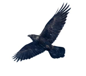 Blackbird PNG Image PNG clipart