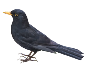 Blackbird PNG Picture PNG Clip art