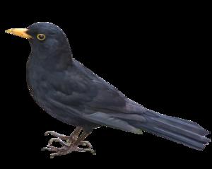 Blackbird PNG Picture PNG Clip art