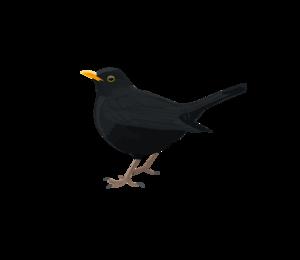 Blackbird PNG Transparent Picture PNG Clip art
