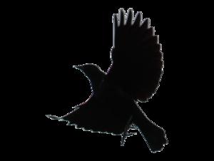 Blackbird PNG Transparent PNG Clip art