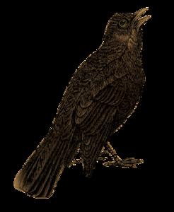 Blackbird Transparent Background PNG Clip art