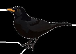Blackbird Transparent PNG PNG Clip art