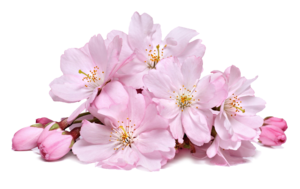 Blossom PNG Download Image PNG Clip art