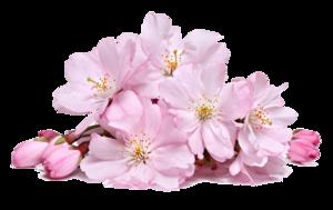 Blossom PNG Download Image PNG Clip art