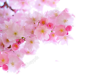 Blossom PNG Image Free Download PNG Clip art