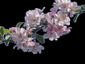 Blossom PNG Transparent PNG Clip art