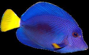 Blue Fish PNG Transparent Image PNG Clip art