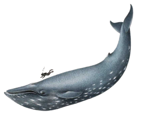 Blue Whale PNG File PNG image