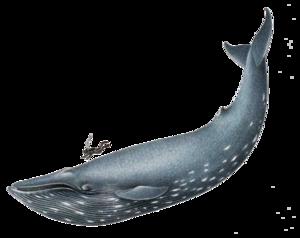 Blue Whale PNG File Clip art