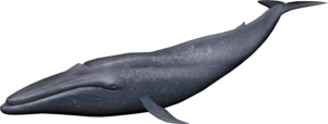 Blue Whale PNG Image PNG Clip art