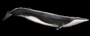 Blue Whale Transparent Background PNG Clip art