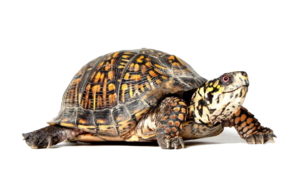 Box Turtle PNG File PNG Clip art