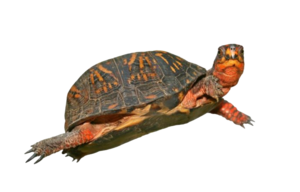 Box Turtle PNG HD PNG Clip art