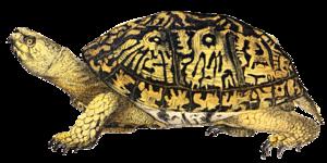 Box Turtle PNG Image PNG Clip art
