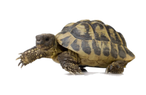Box Turtle PNG Pic PNG Clip art