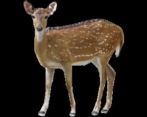 Buck Deer PNG PNG Clip art