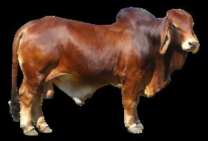 Bull PNG Free Download PNG Clip art