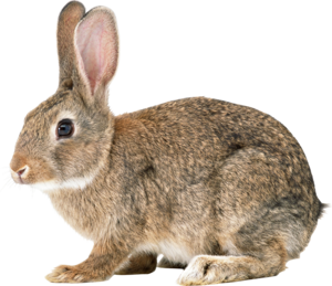 Bunny PNG File PNG Clip art