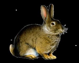 Bunny Rabbit PNG PNG Clip art