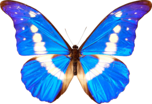 Butterfly Transparent PNG PNG icon