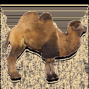 Camel PNG File PNG Clip art