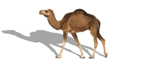 Camel PNG Image PNG Clip art