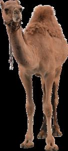Camel PNG Pic PNG Clip art