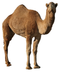 Camel PNG Picture PNG clipart