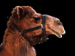 Camel Transparent Background PNG Clip art