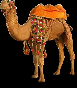 Camel Transparent PNG PNG Clip art