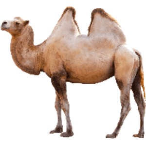 camel PNG icon