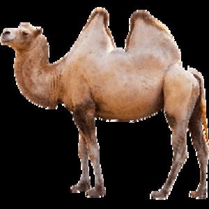 camel PNG Clip art