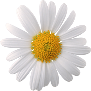 Camomile Face PNG PNG Clip art